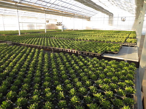 オステオスペルマム 1作目 生育経過  育種 品種改良 松原園芸