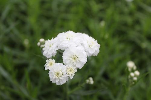 アキレア ノブレッサ 育種 品種改良 松原園芸