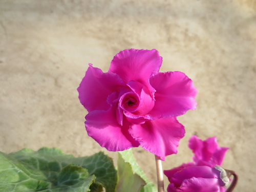 バラ咲きシクラメン
