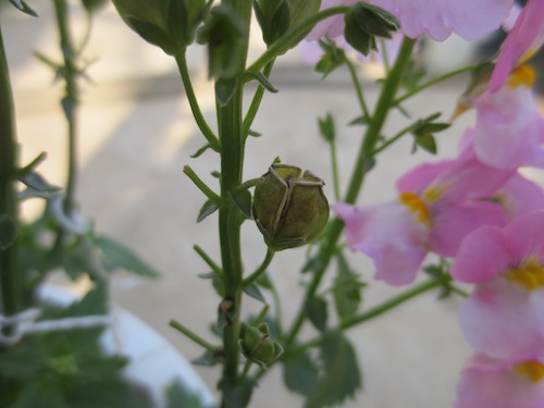 ネメシア 種子 交配 育種 品種改良 松原園芸