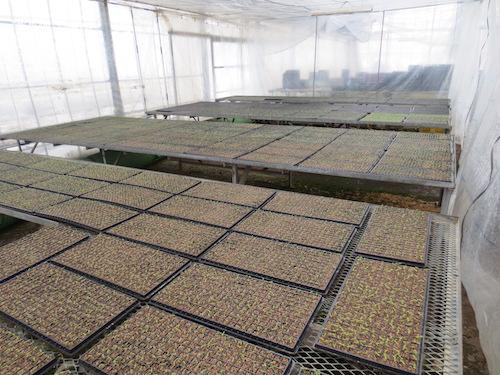 ニチニチソウ プラグ苗 生産 販売 松原園芸