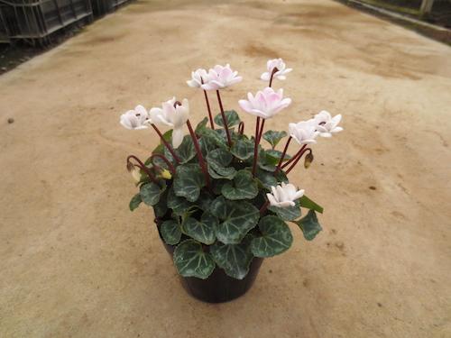 シクラメン 八重咲きミニ 育種 生産 販売 松原園芸 オリジナル品種