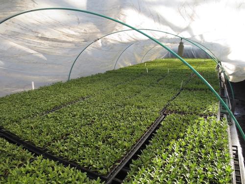 カリブラコア 挿し芽 プラグ苗育種 生産 販売 松原園芸 オリジナル品種