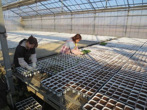ペチュニア 妖精のチュチュ 交配 育種 生産 販売 松原園芸 オリジナル品種