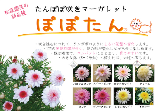 マーガレット ぽぽたん POP 育種 生産 販売 松原園芸 オリジナル品種