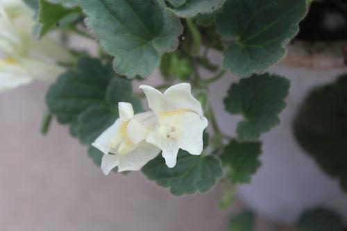 アサリナ・プロクンベンス  Asarina procumbens  生産 販売 松原園芸