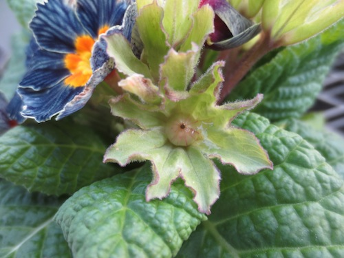 プリムラ 交配 育種 異形花不和合性  生産 販売 松原園芸 オリジナル品種
