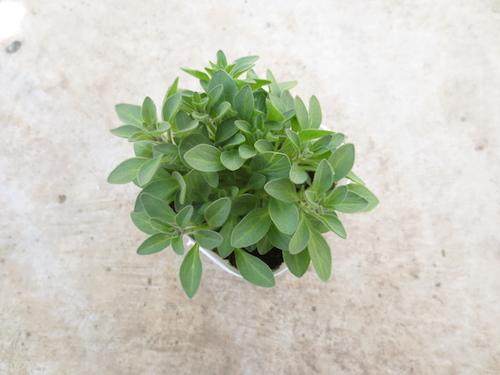 ペチュニア ヴァルゴ  黒花ペチュニア 育種 生産 販売 松原園芸