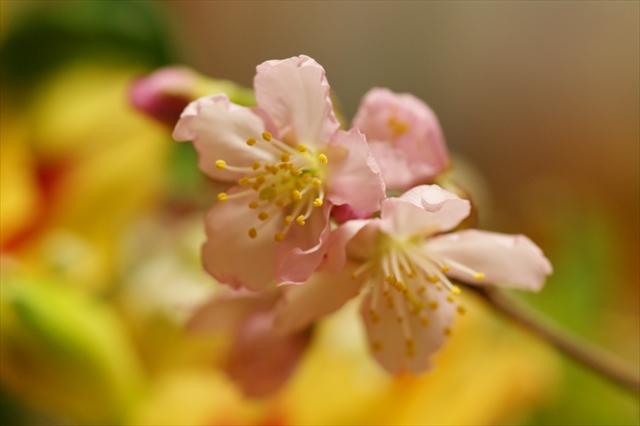 ときめき桜