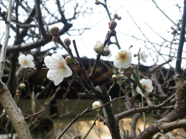 梅の開花が止まらな~い!