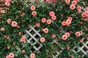 バラの垣根