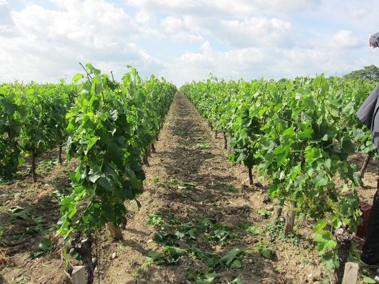 見学したワインカーブの葡萄畑