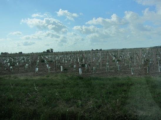 見渡す限りの葡萄畑