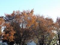 20151201三鷹の紅葉2