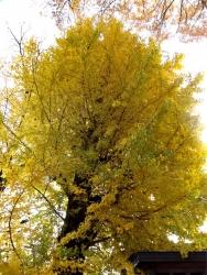 20151206三鷹の黄葉・紅葉1