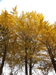 20151210玉川上水黄葉1