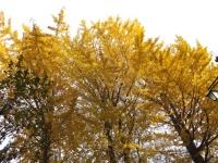 20151210玉川上水黄葉2