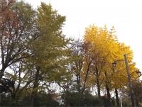 20151210玉川上水黄葉3