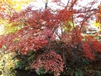 20151210玉川上水紅葉1