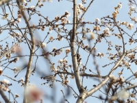 20151225桜2