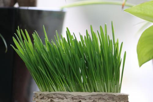 ねこ草 1
