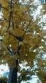 銀杏街路樹