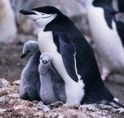 04a 250 penguin parent children
