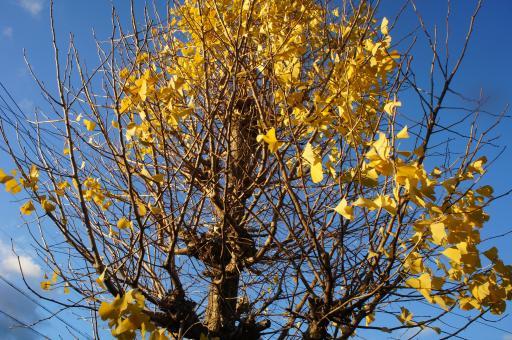 公孫樹の落葉1