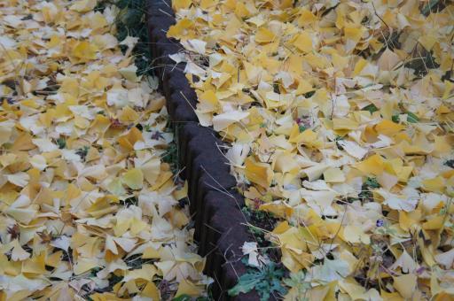 公孫樹の落葉2
