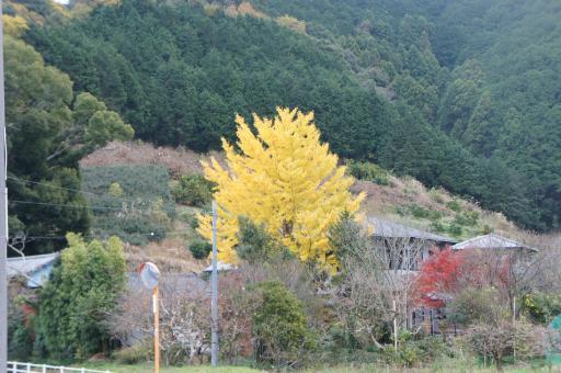 片山さんちの公孫樹