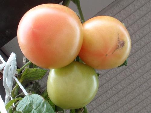 トマト151215