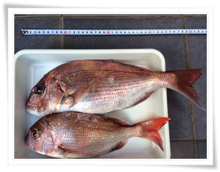 2015鯛釣り