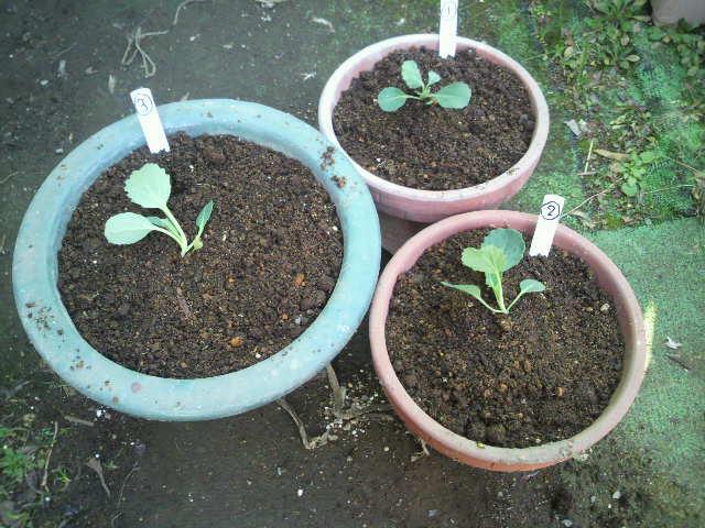 サボイ鉢植えへ