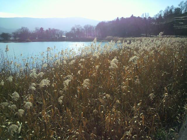 山中湖ススキ
