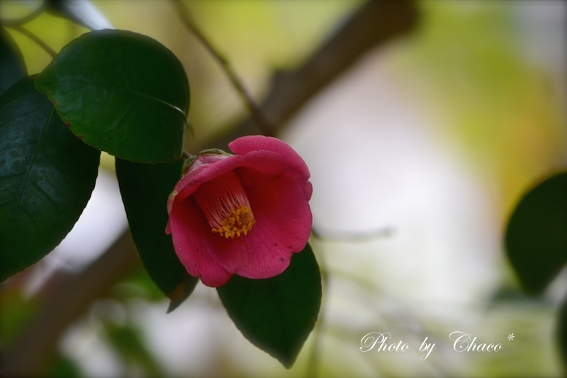 紅葉に咲く