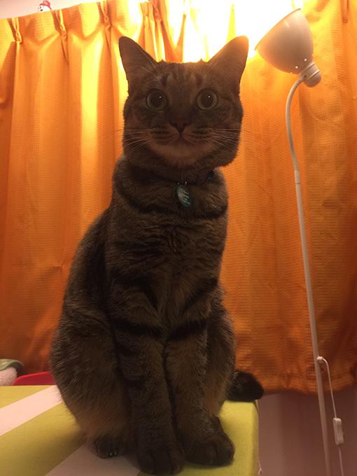 2015年08月03日撮影のキジトラ猫クーちゃん2