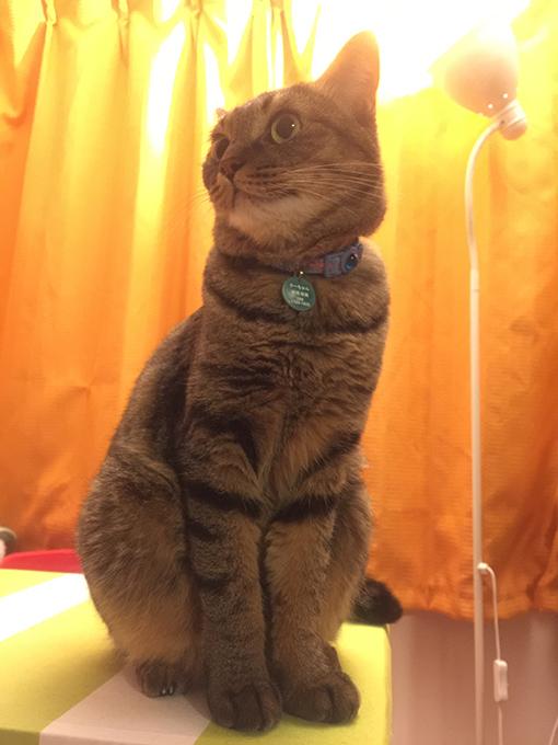 2015年08月03日撮影のキジトラ猫クーちゃん3