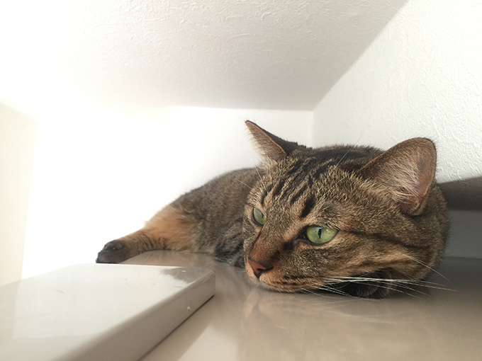 2015年08月05日撮影のキジトラ猫クーちゃん3