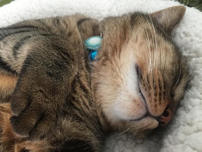 2015年08月19日撮影のキジトラ猫クーちゃん1