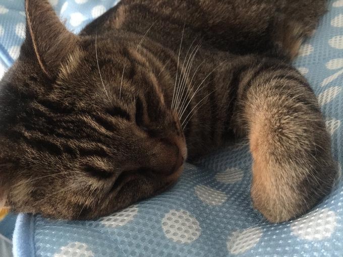 2015年08月27日撮影のキジトラ猫クーちゃん1