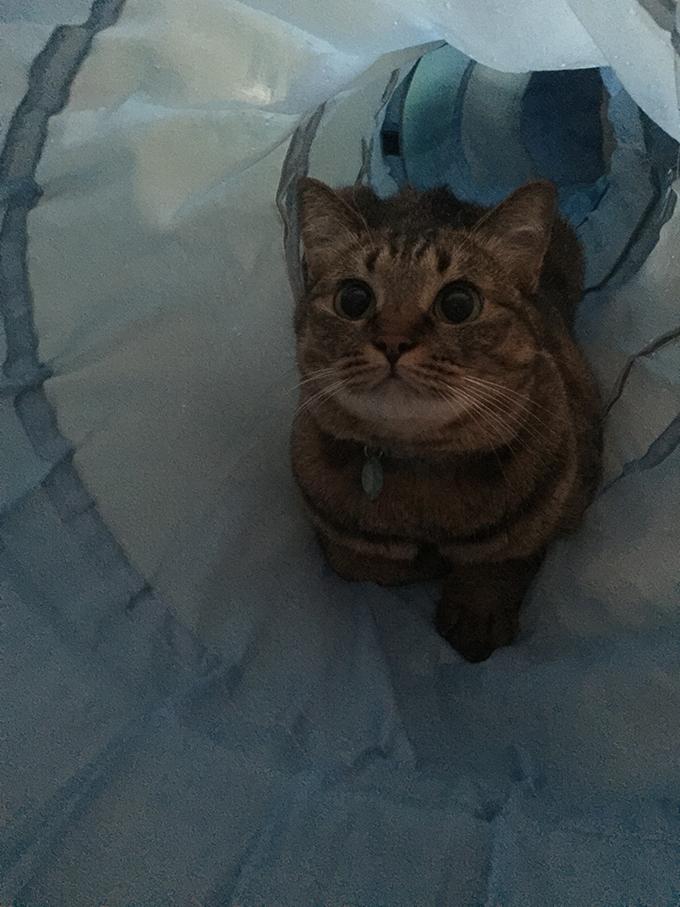 2015年08月23日撮影のキジトラ猫クーちゃん