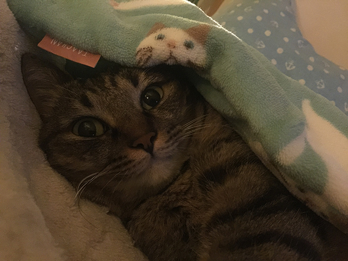 2015年09月09日撮影のキジトラ猫クーちゃん