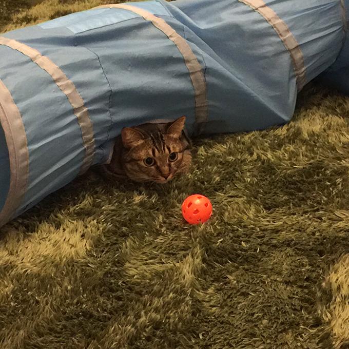 2015年09月10日撮影のキジトラ猫クーちゃん