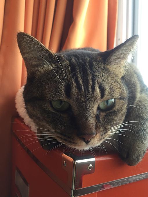 2015年09月15日撮影のキジトラ猫クーちゃん1