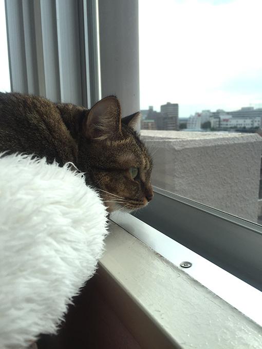 2015年09月26日撮影のキジトラ猫クーちゃん5