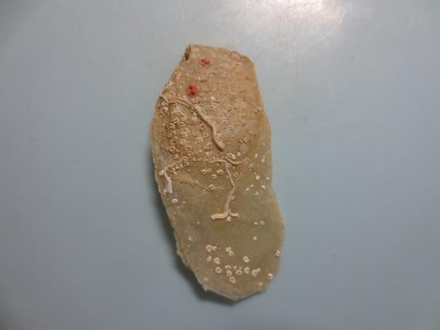 シロアオリガイ