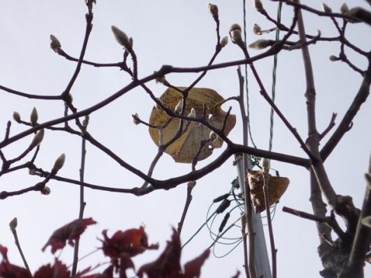 最後のモクレンの葉