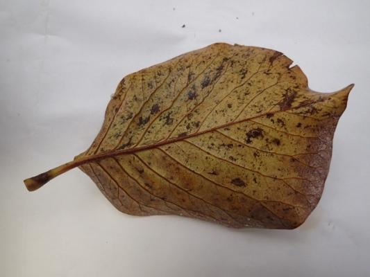 モクレンの葉の裏