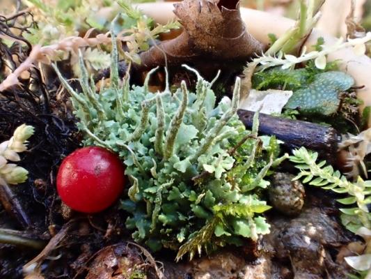 ヤリノホゴケの仲間と2〜3の苔
