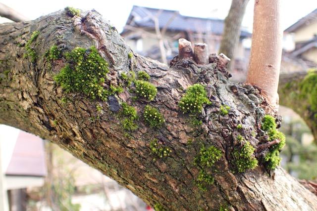 タチヒダゴケ(柿の木)